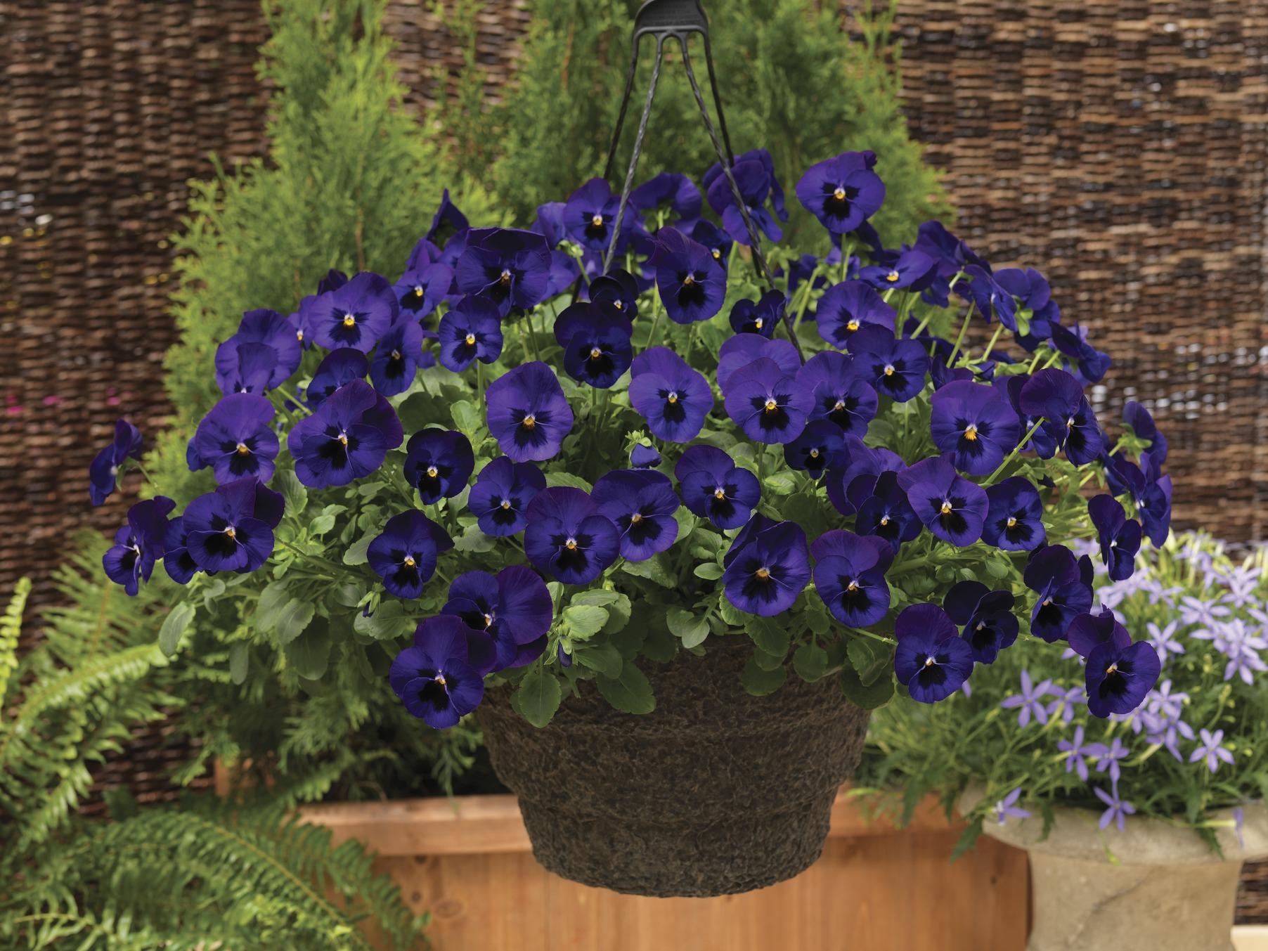 Stiefmütterchen (Viola) blau mit Auge