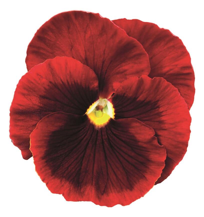 Stiefmütterchen (Viola) rot mit Auge