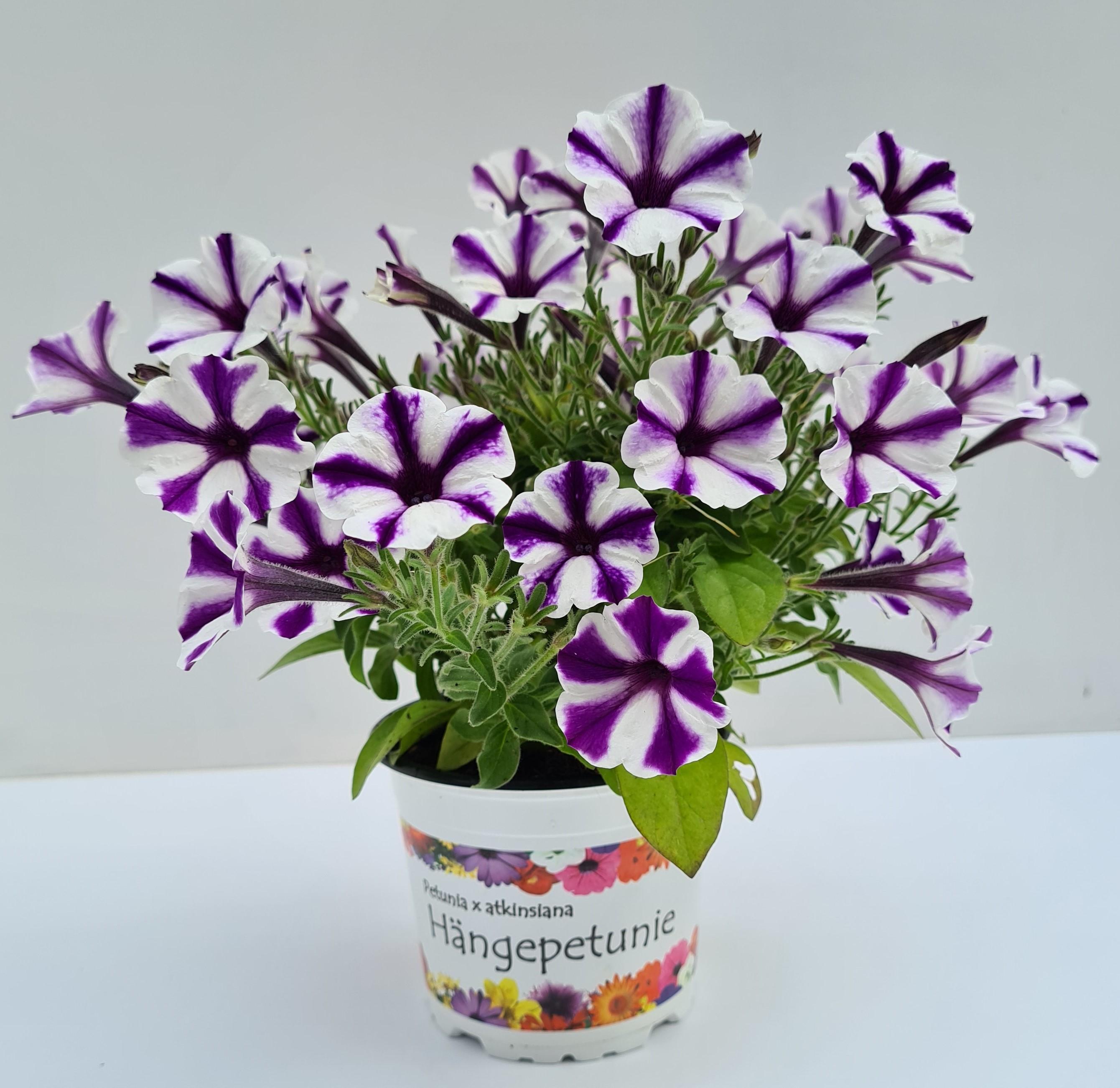 Petunie T12 Violet Star | Sternblüte großblumig