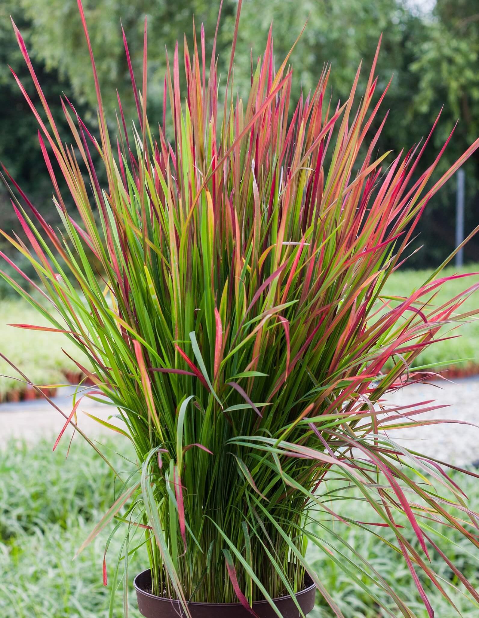 Japanisches Blutgras (Imperata cylindrica) 'Red Baron' T12  - winterhart