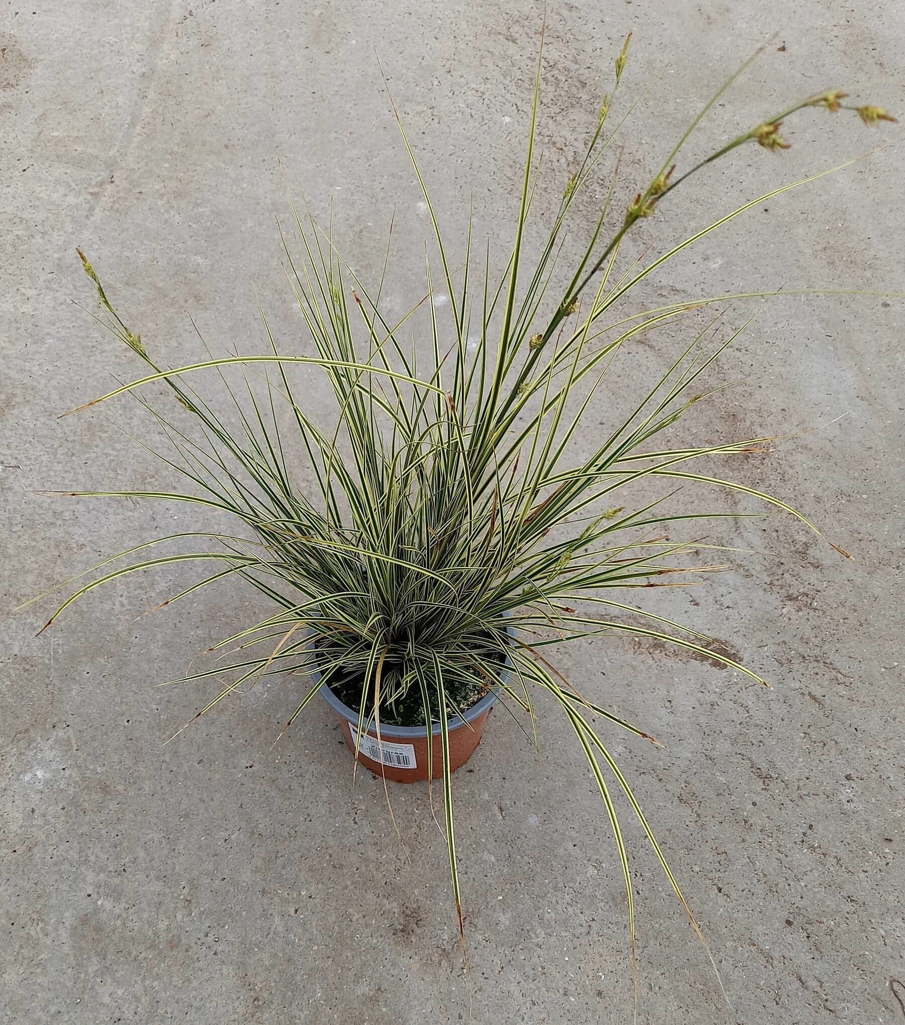 Bräunliche Segge (Carex brunnea) 'Albolineata' T12 - winterhart
