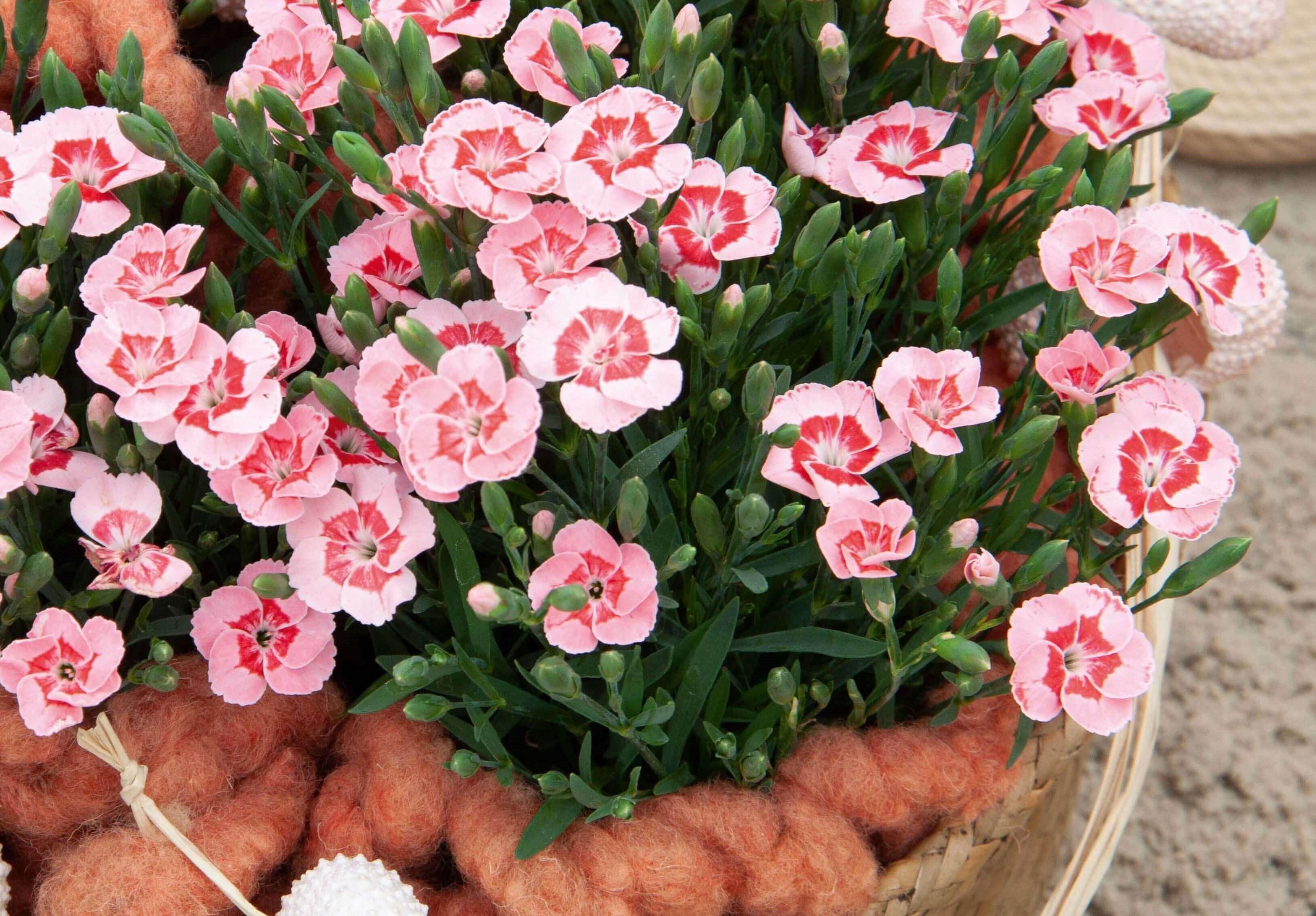 Duft-Nelke (Dianthus)  'Peach Party®' T12, apricotfarben - winterhart