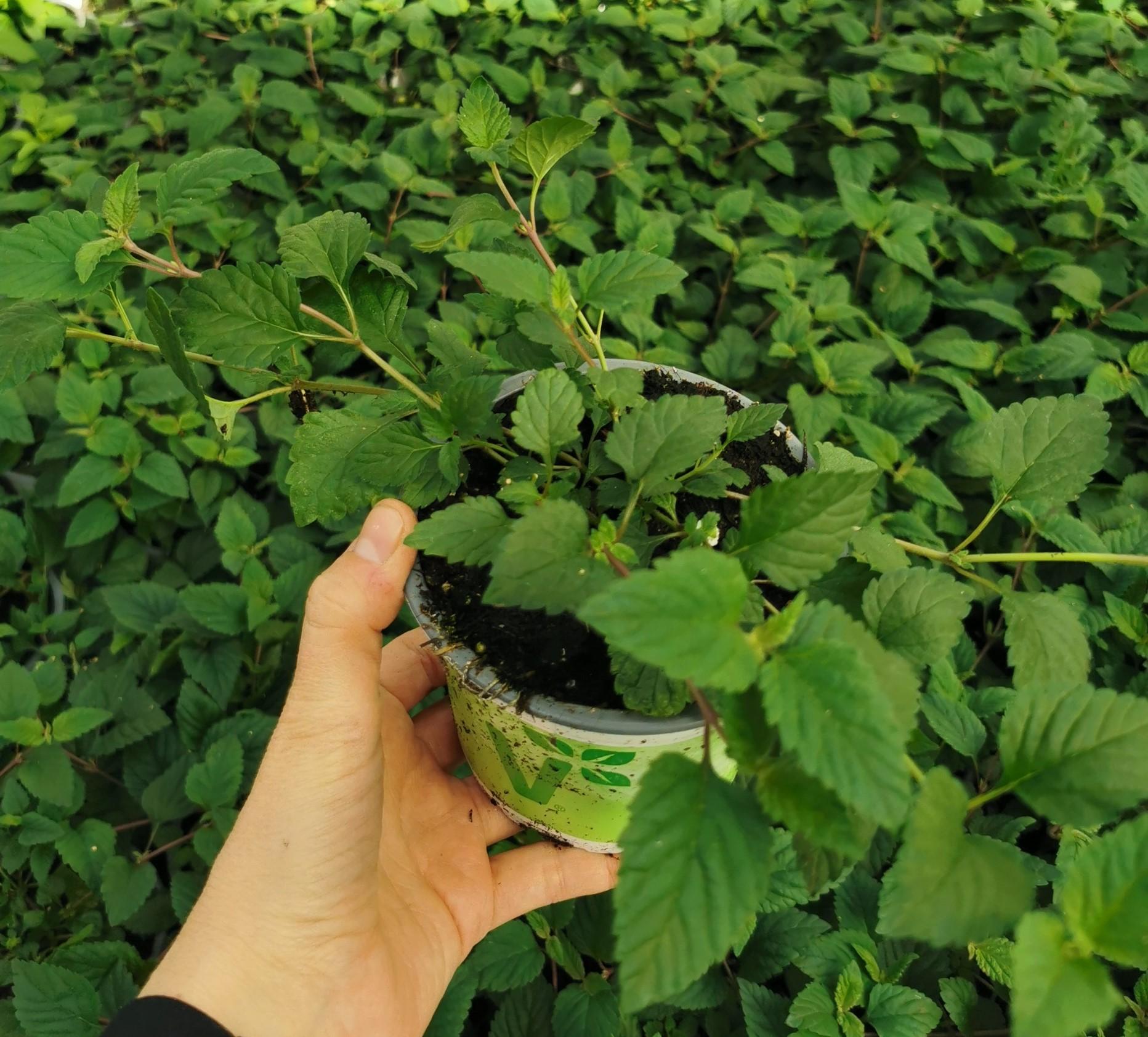 Aztekisches Süßkraut V12 Colada, Stevia