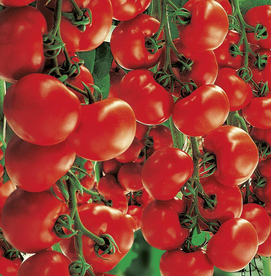 Strauchtomate 'Starlias Red' (veredelt)