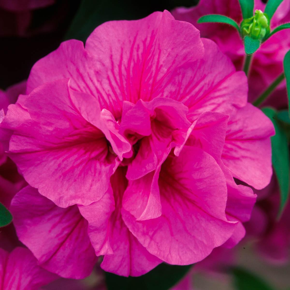 Petunie 'Tumbelina® Candyfloss' gefüllt hängend