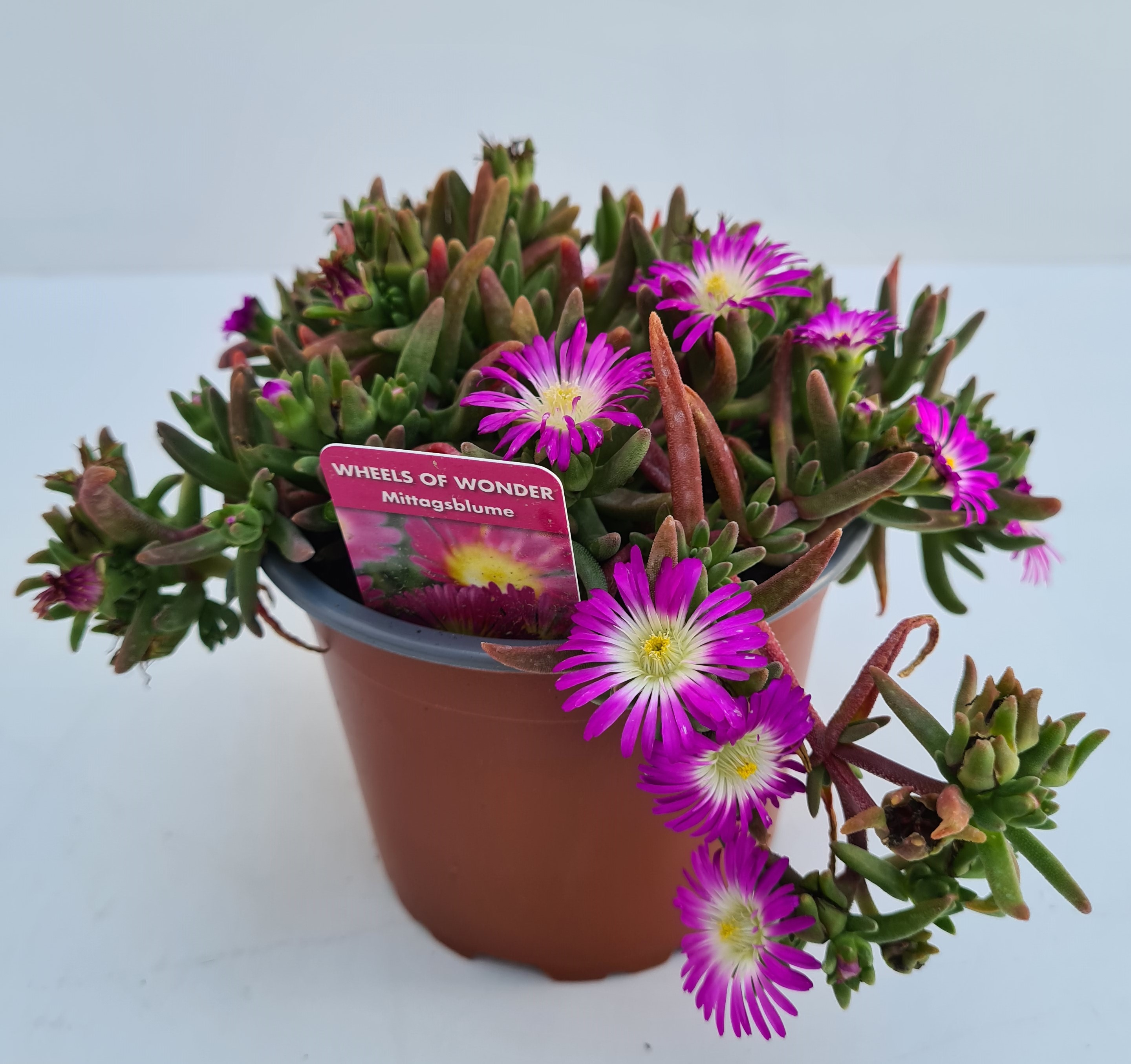 Delospermum T12 Mittagsblume - Purple Wonder - winterhart