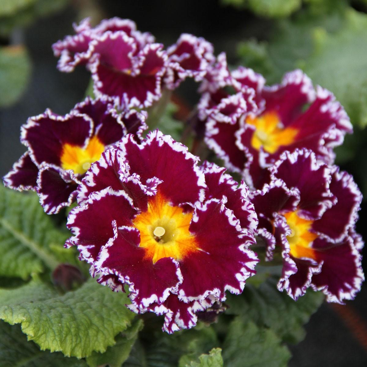 Zuckerguss-Primel 'Sacarina Violet'