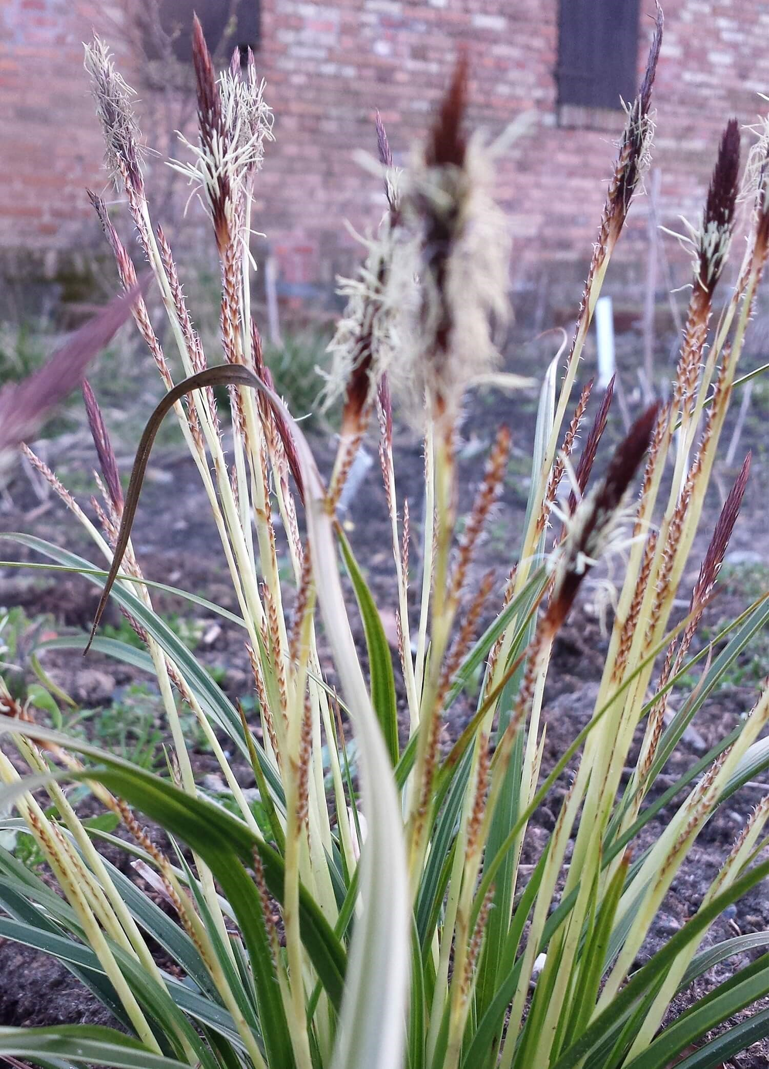 Japan-Segge (Carex morrowii) 'Variegata' T12 - winterhart