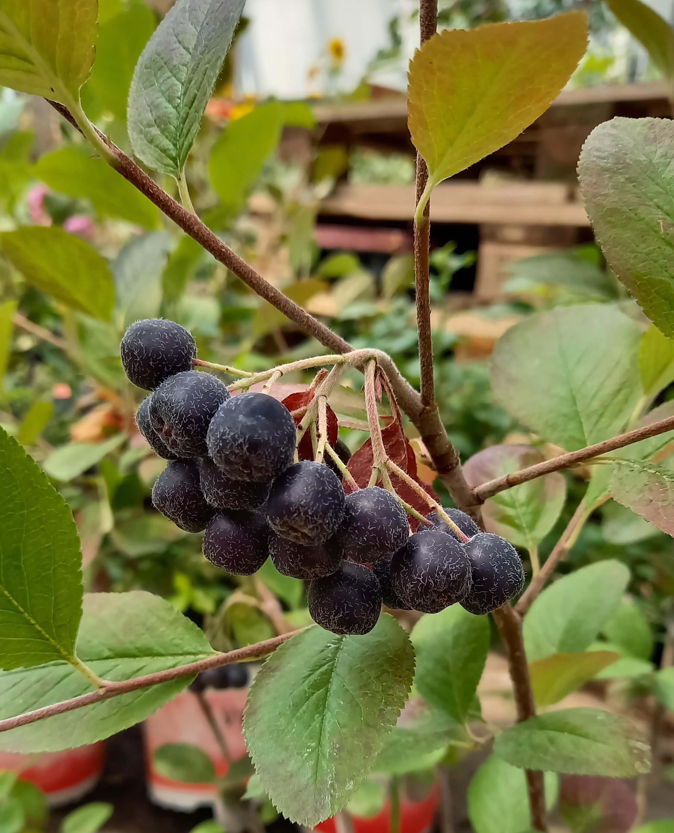 Apfelbeere (Aronia) 'Xagros® Black' T17