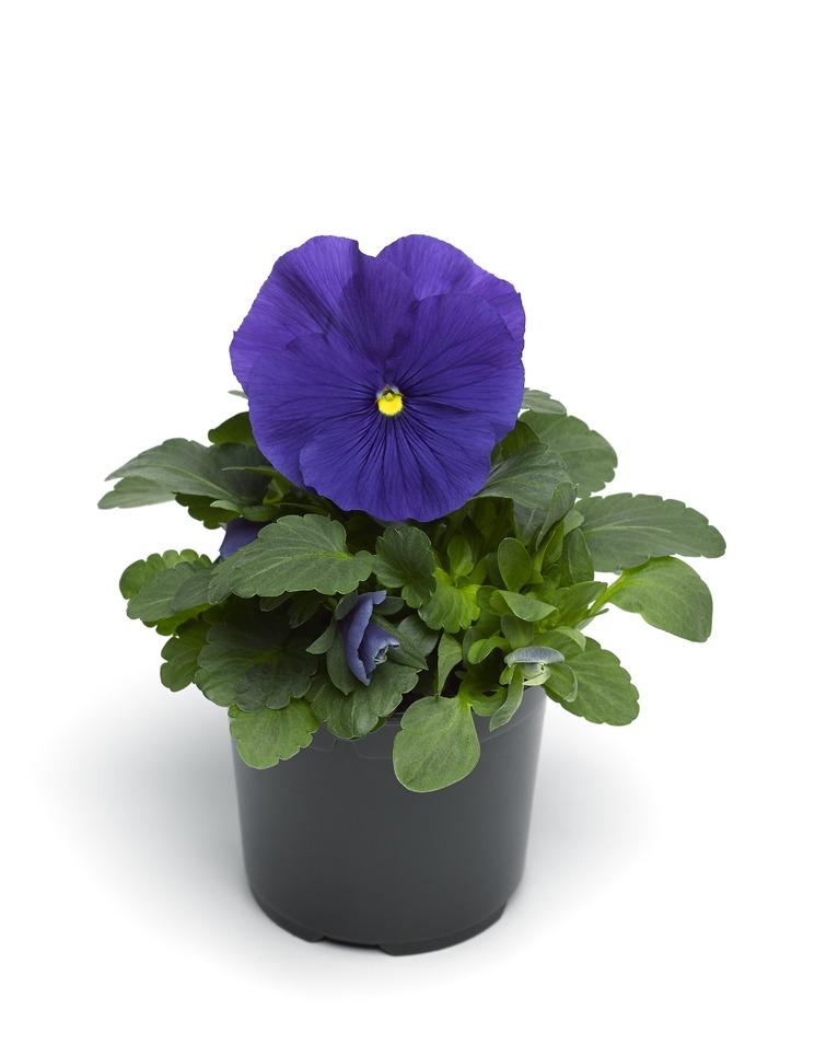 Stiefmütterchen (Viola) blau