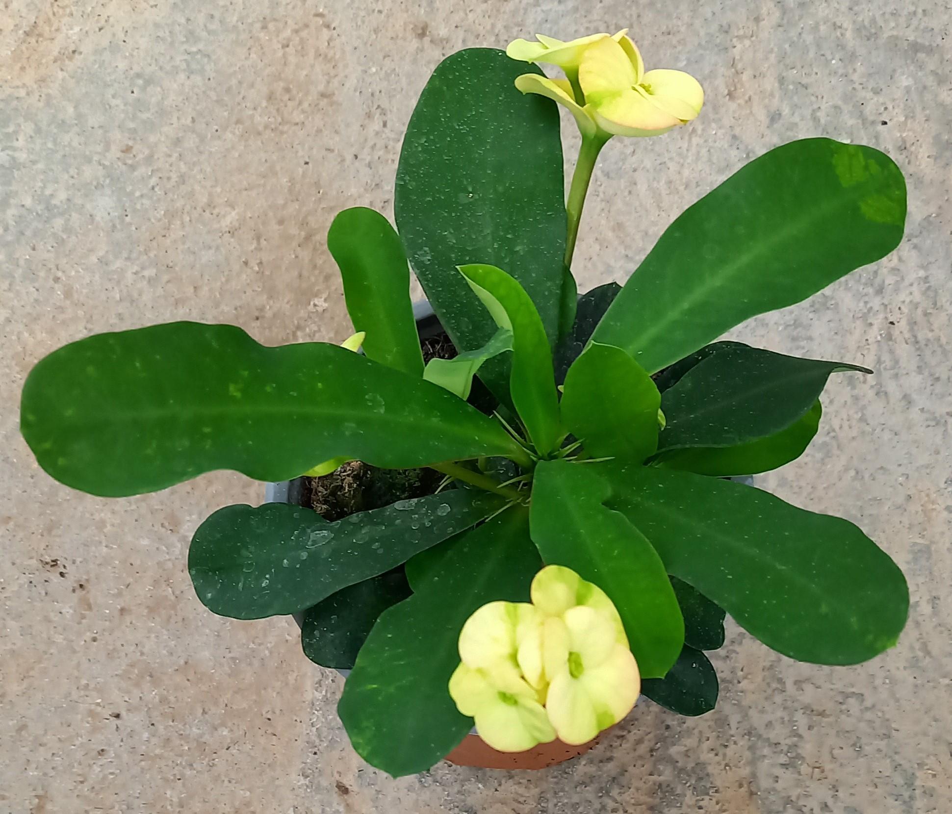 Euphorbia 'Hot Milii' T11, creme  - TOP Neuheit!