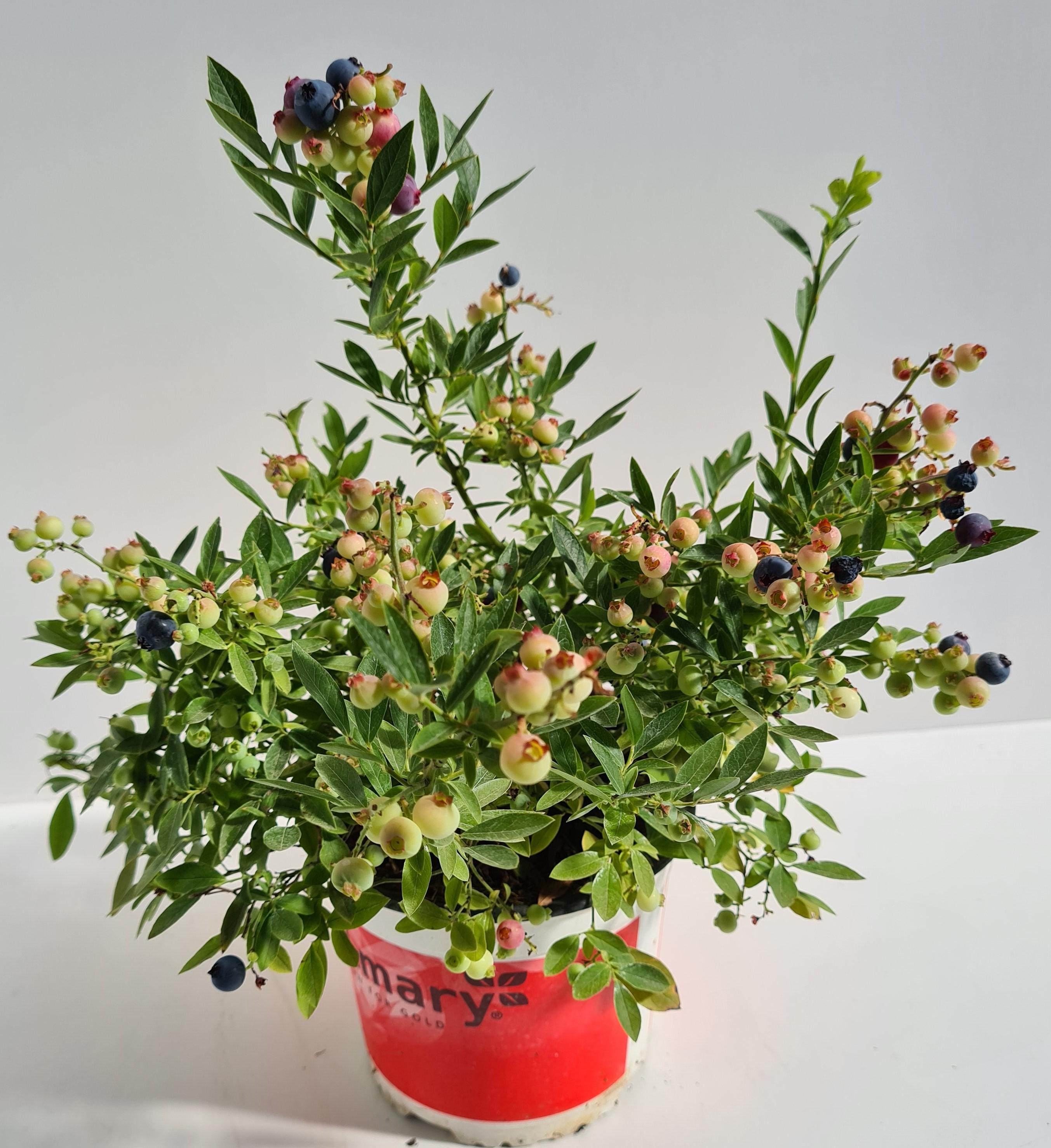 Kompakte Heidelbeerpflanze T17 Northcountry - winterhart