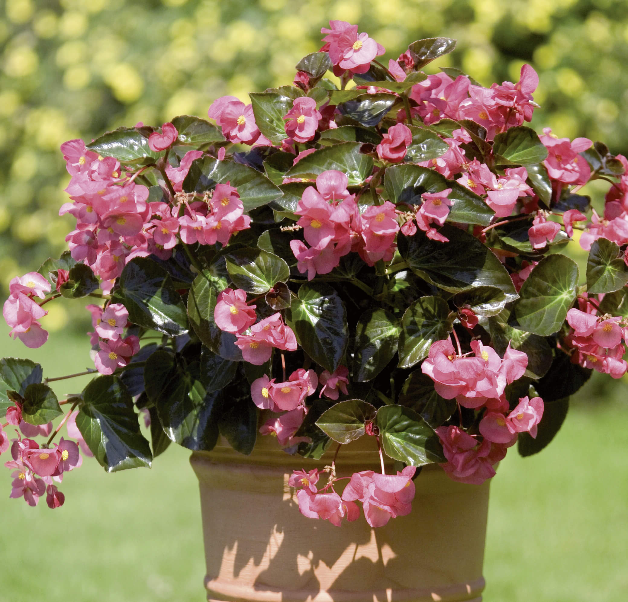 Solitär-Begonie 'Big™' rosa dunkellaubig
