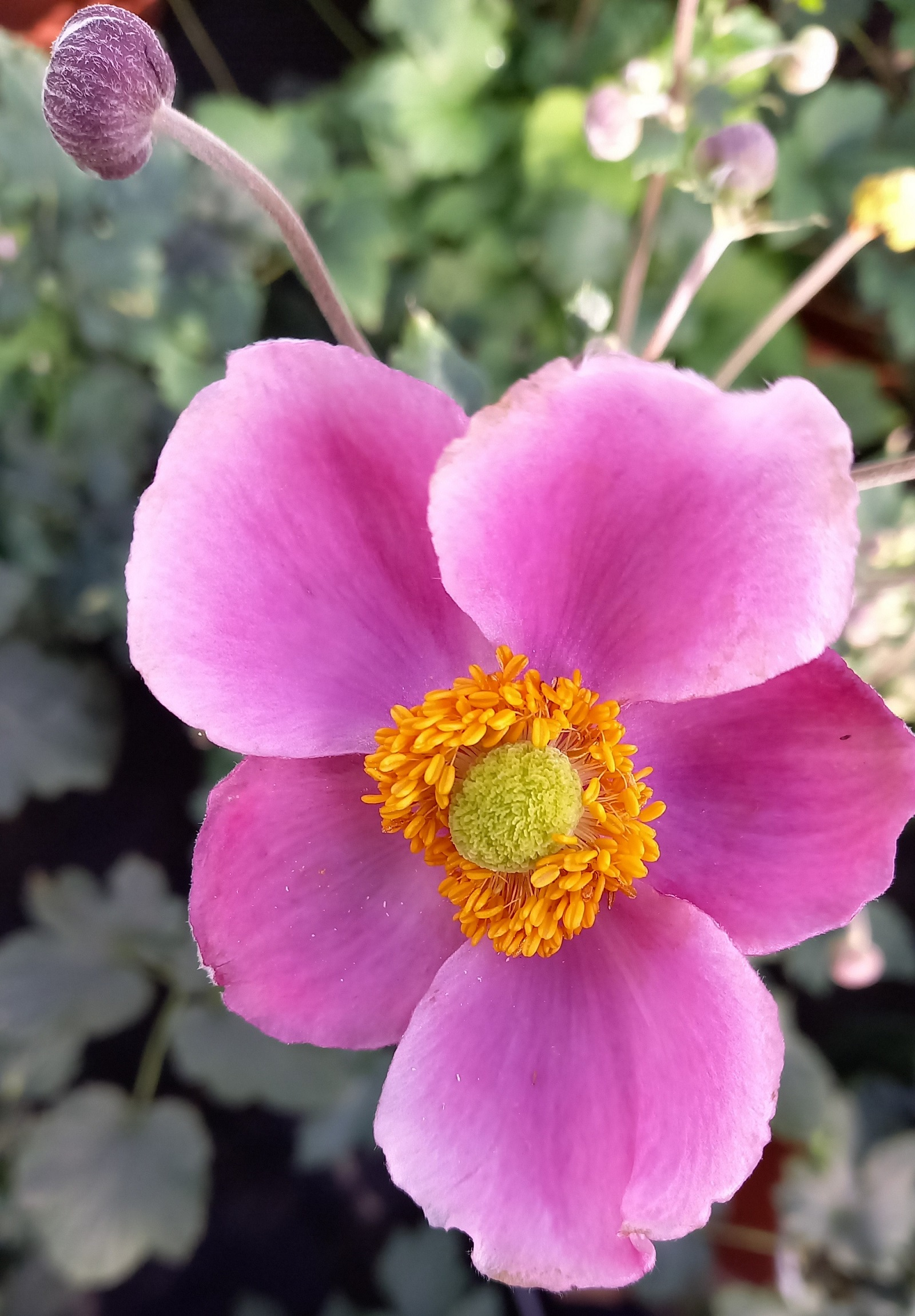 Anemone 'Pink Cloud' T19, rosa - winterhart