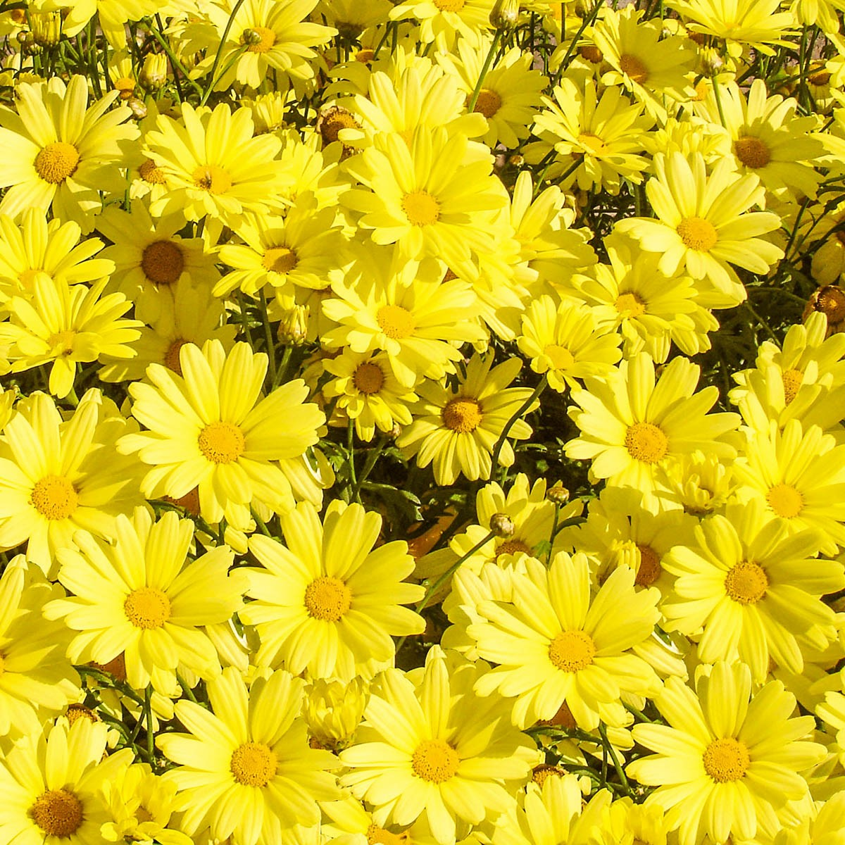 Strauchmargerite (Argyranthemum) 'gelb'
