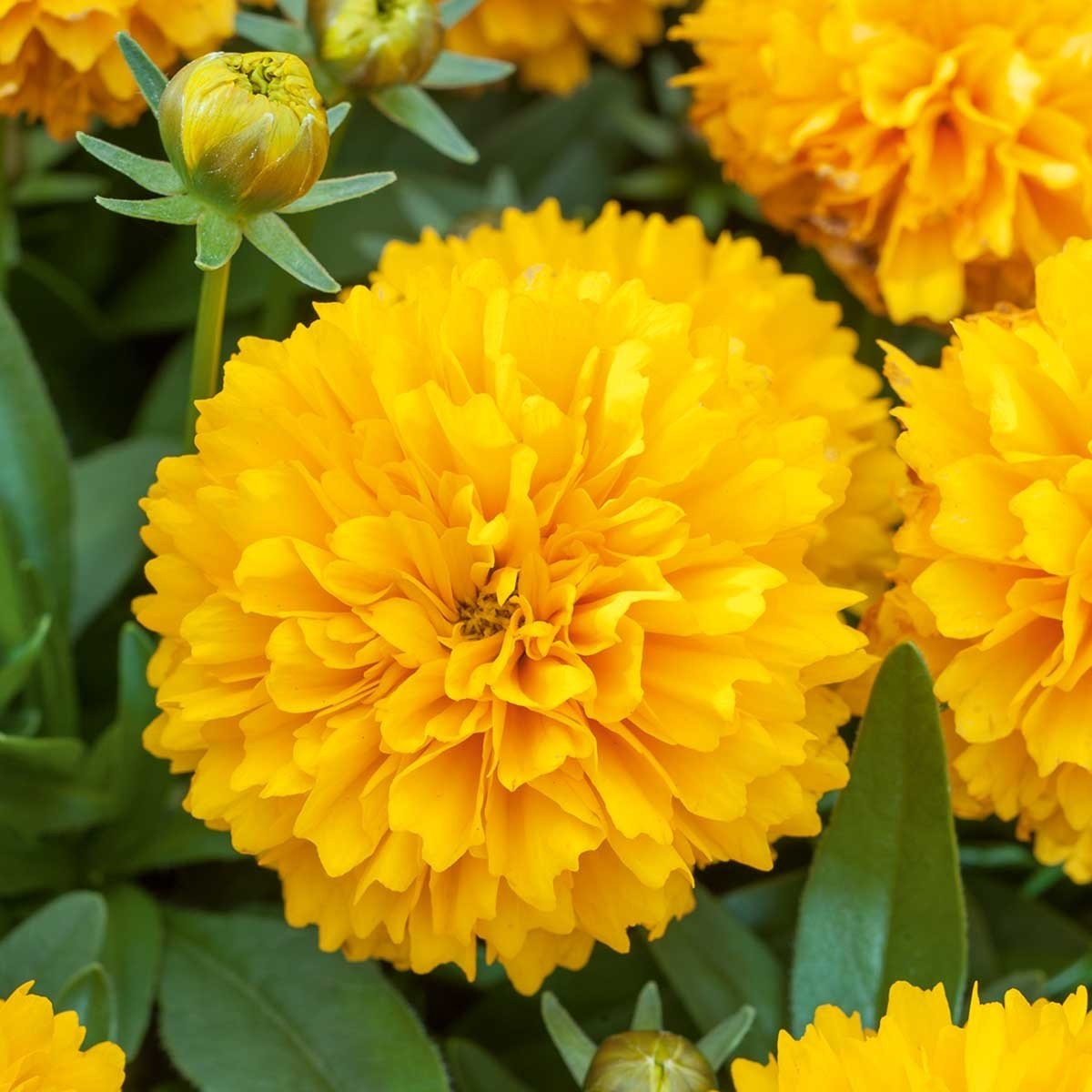 Mädchenauge (Coreopsis) 'Solena® Compact Gold'