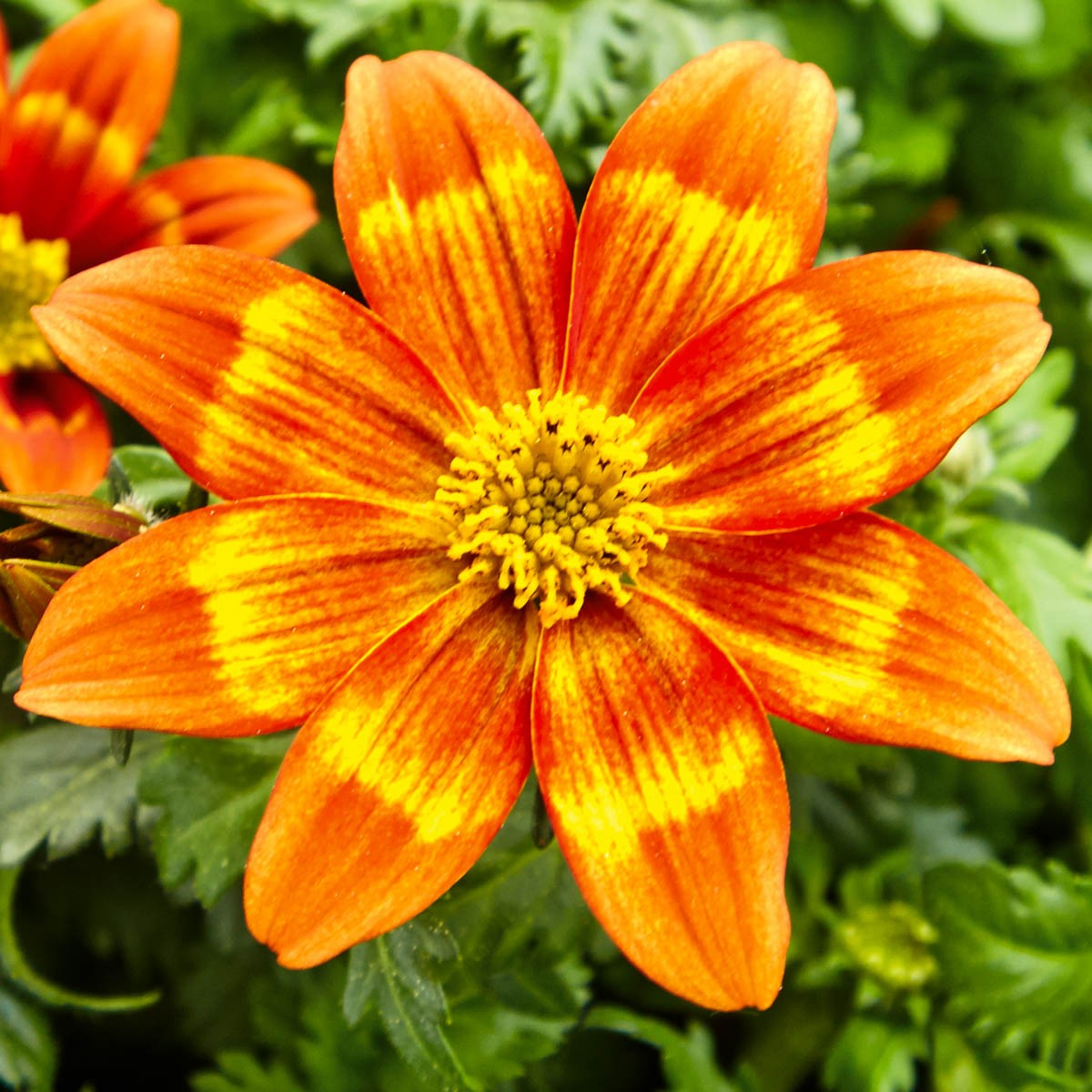Bidens Funkenmarie 'Hawaiian Flare Orange Yellow Centre'
