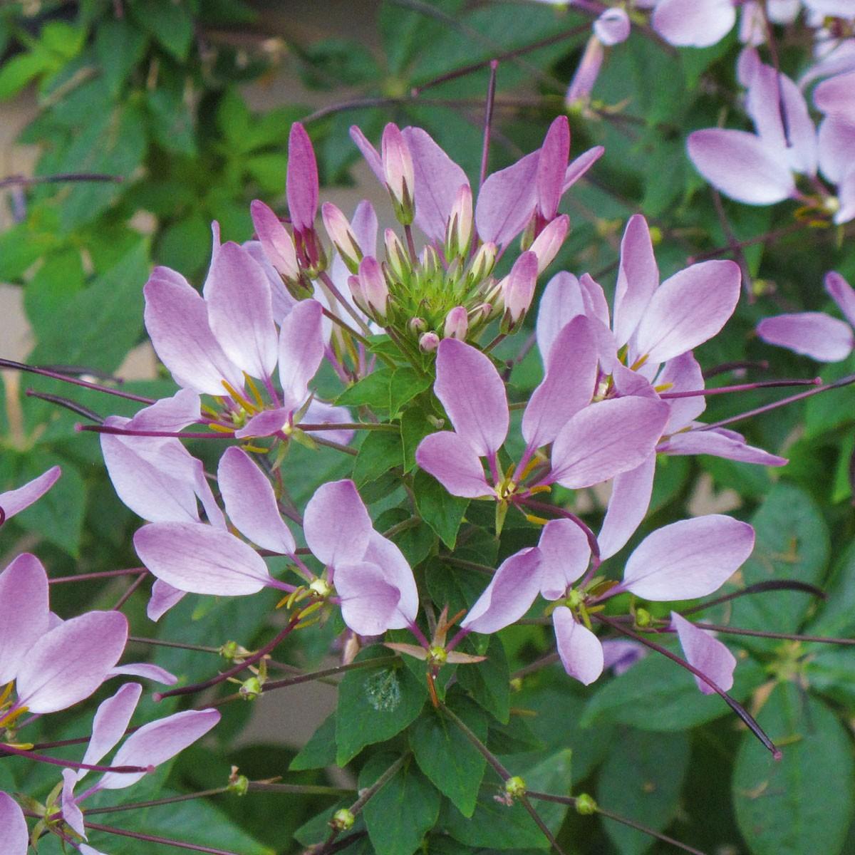 Spinnenpflanze (Cleome) 'Kelly Rose'