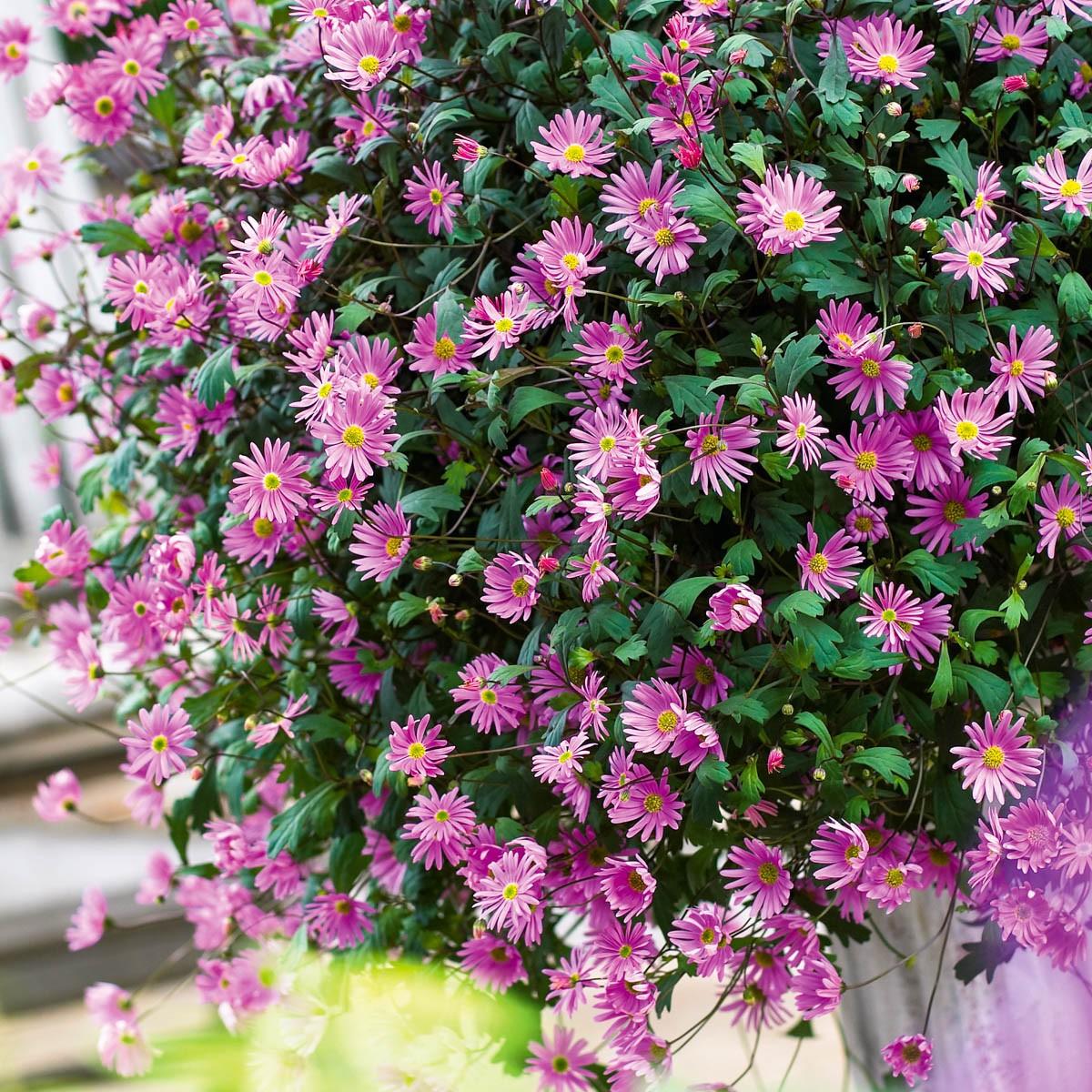 Australisches Gänseblümchen 'Surdaisy Strawberry Pink'