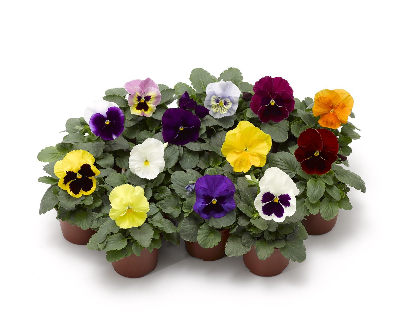 Stiefmütterchen (Viola) Mix verschiedene Farben