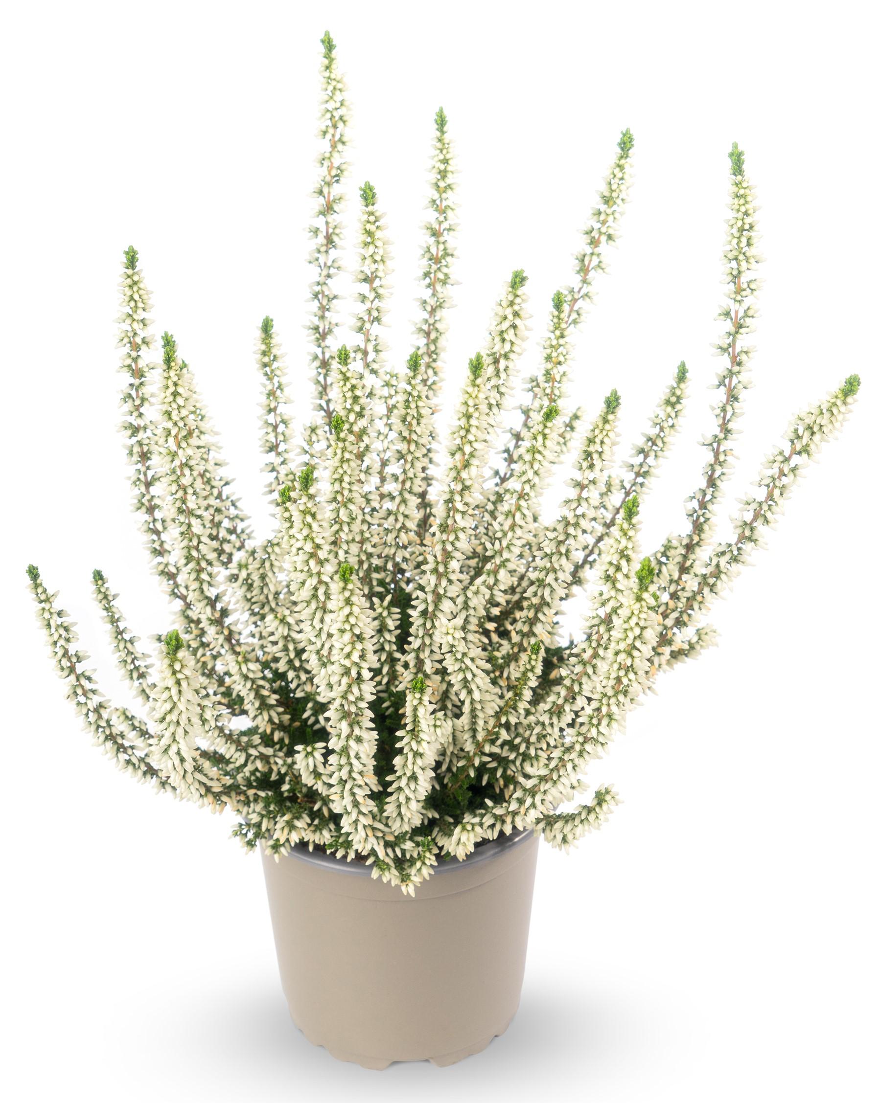 Knospenheide (Calluna vulgaris) Gardengirls® Emma - weiß