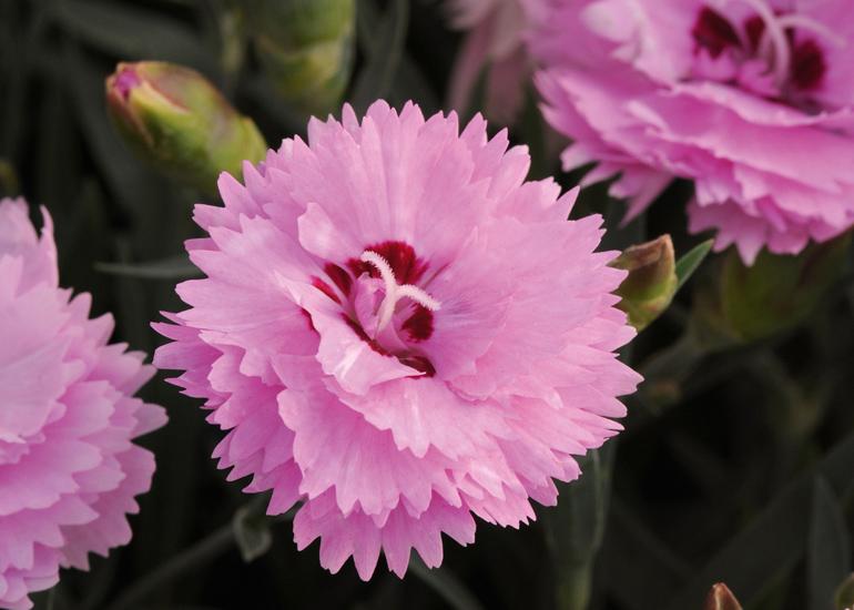 Nelke (Dianthus) T12 Diantica Lavender + Eye - Duft-Staudennelke winterhart