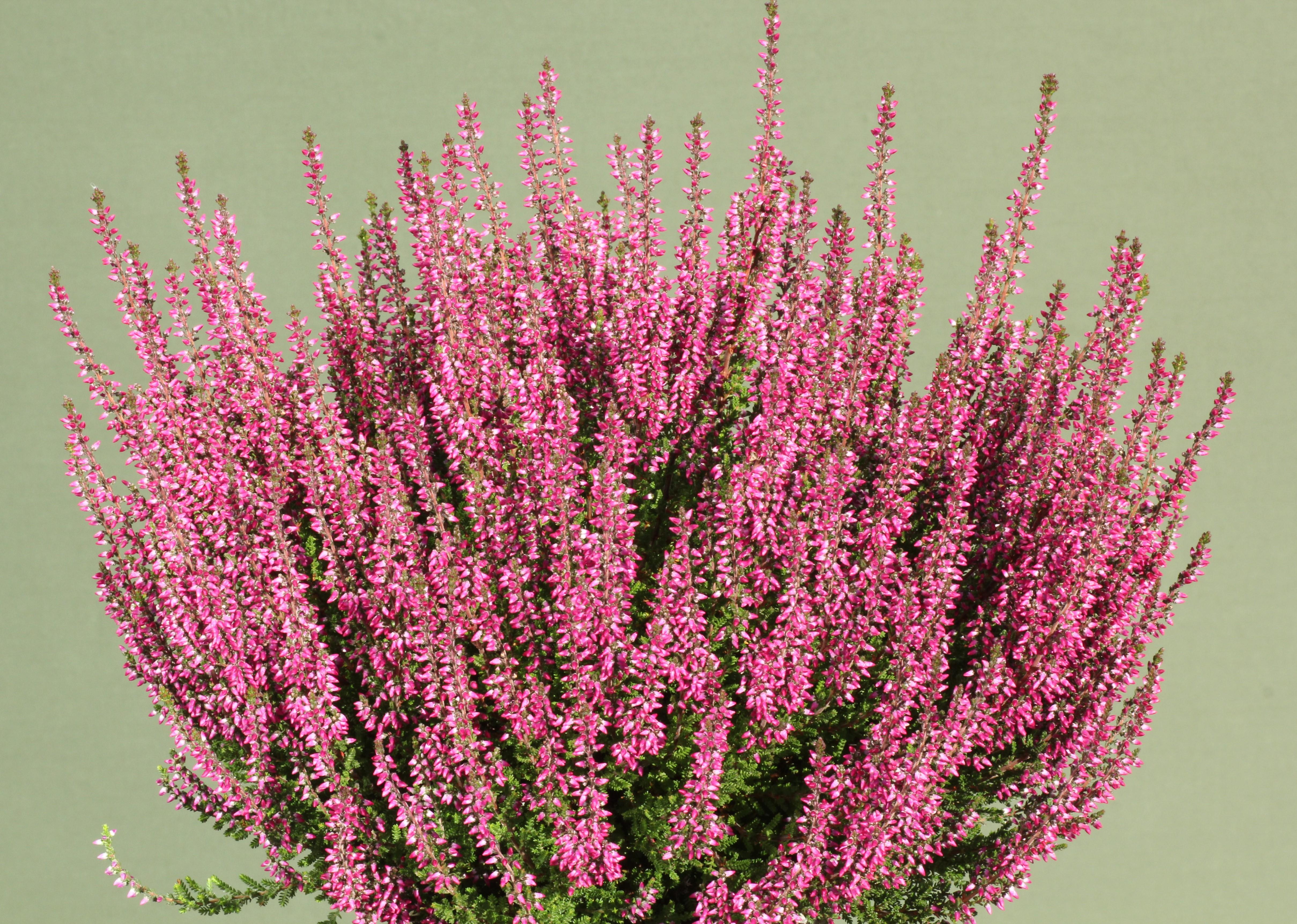 Knospenheide (Calluna) Gardengirls® Amethyst - violett rot