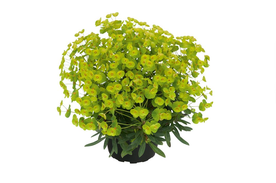 Mandelblättrige Wolfsmilch (Euphorbia amygdaloides) 'Athene' T12 - winterhart