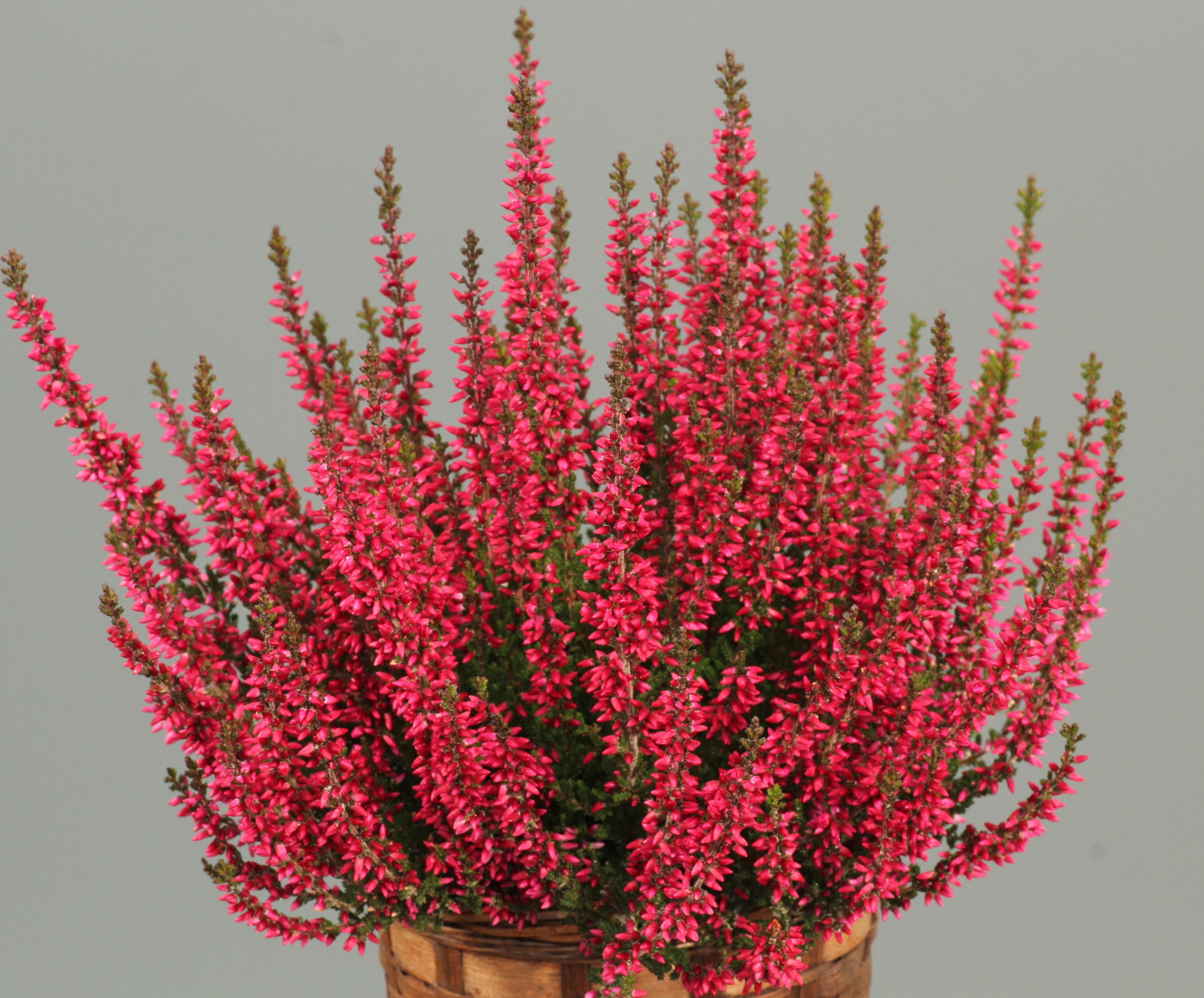 Knospenheide (Calluna) Gardengirls® Athene - leuchtend rot