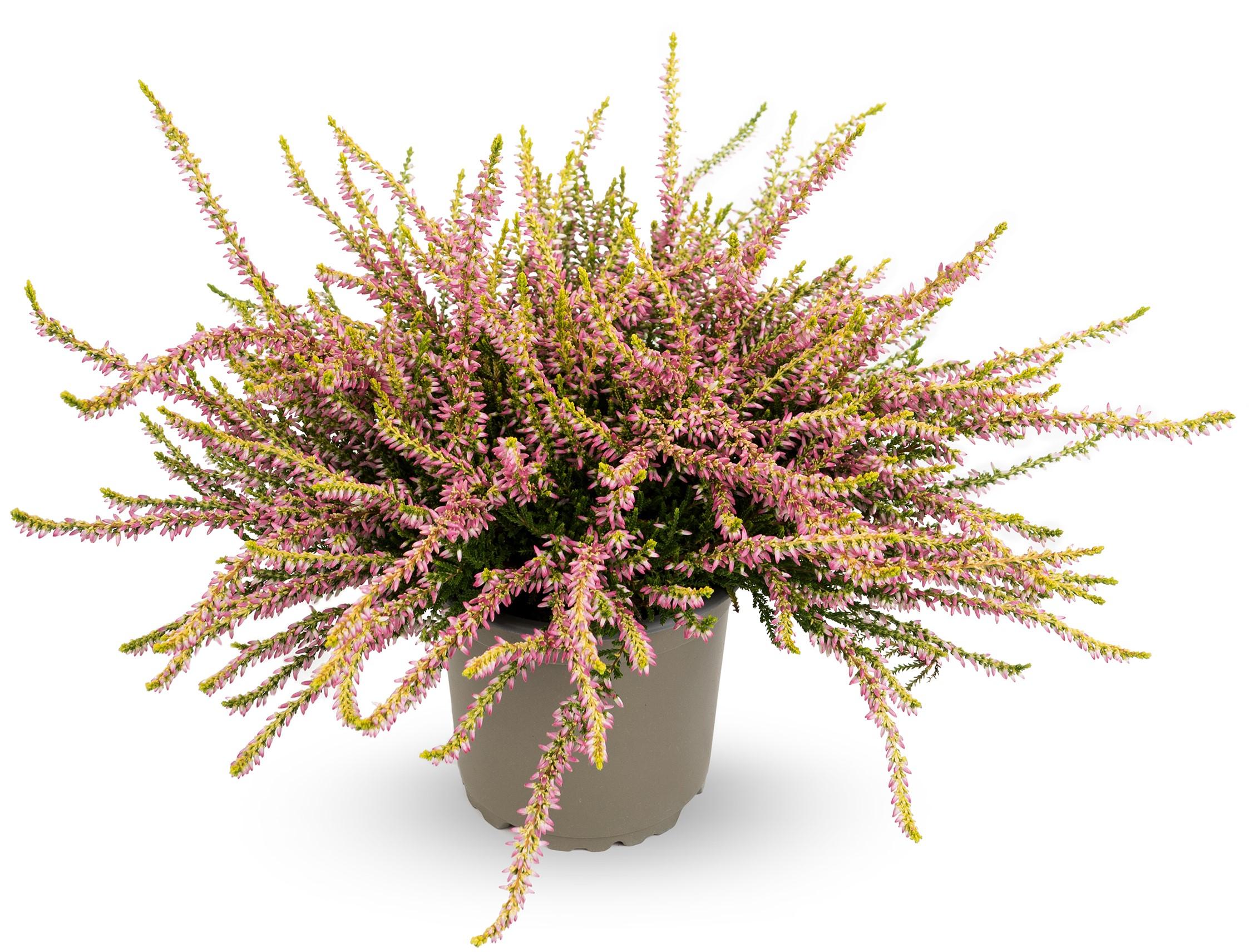 Knospenheide (Calluna vulgaris) Gardengirls® Theresa - gelblaubig rosa