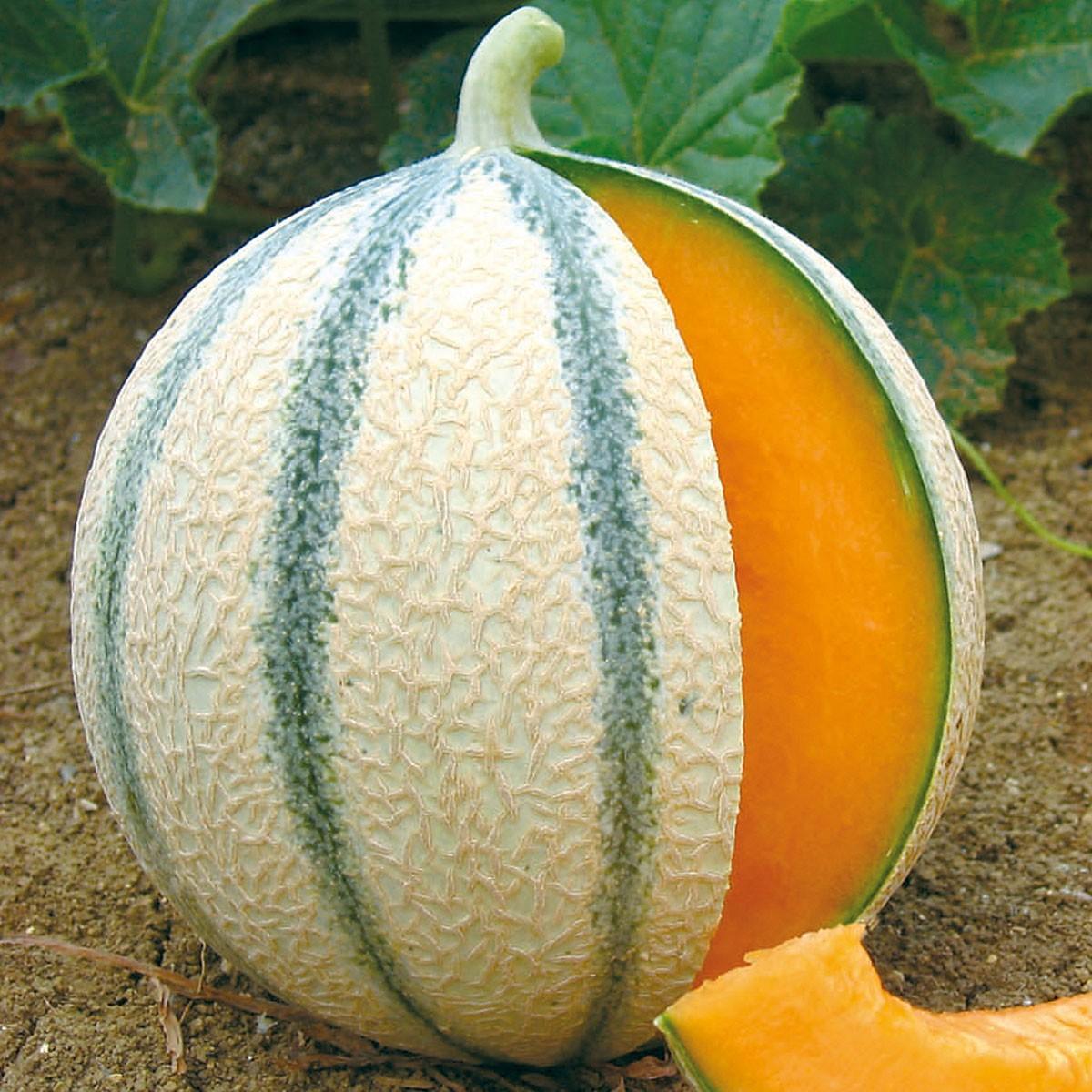 Zuckermelone 'Anasta' (veredelt)