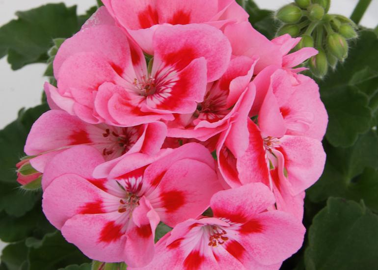 Geranie aufrecht wachsend | rosa mit rotem Auge
