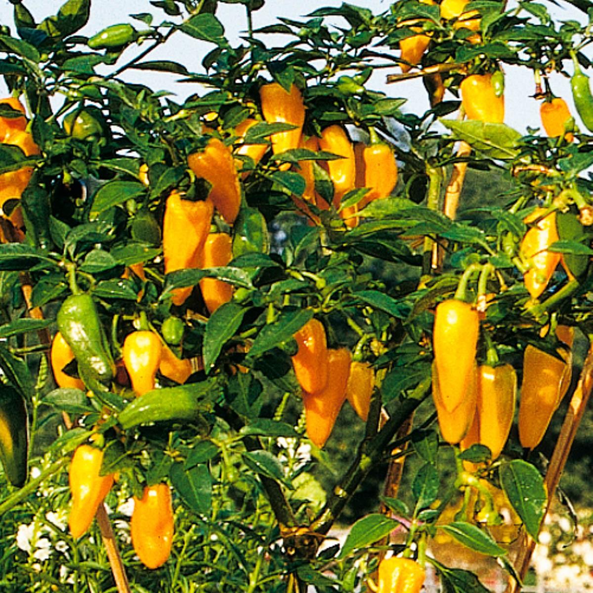 Topf-Peperoni 'Cheyenne' scharf und aromatsich