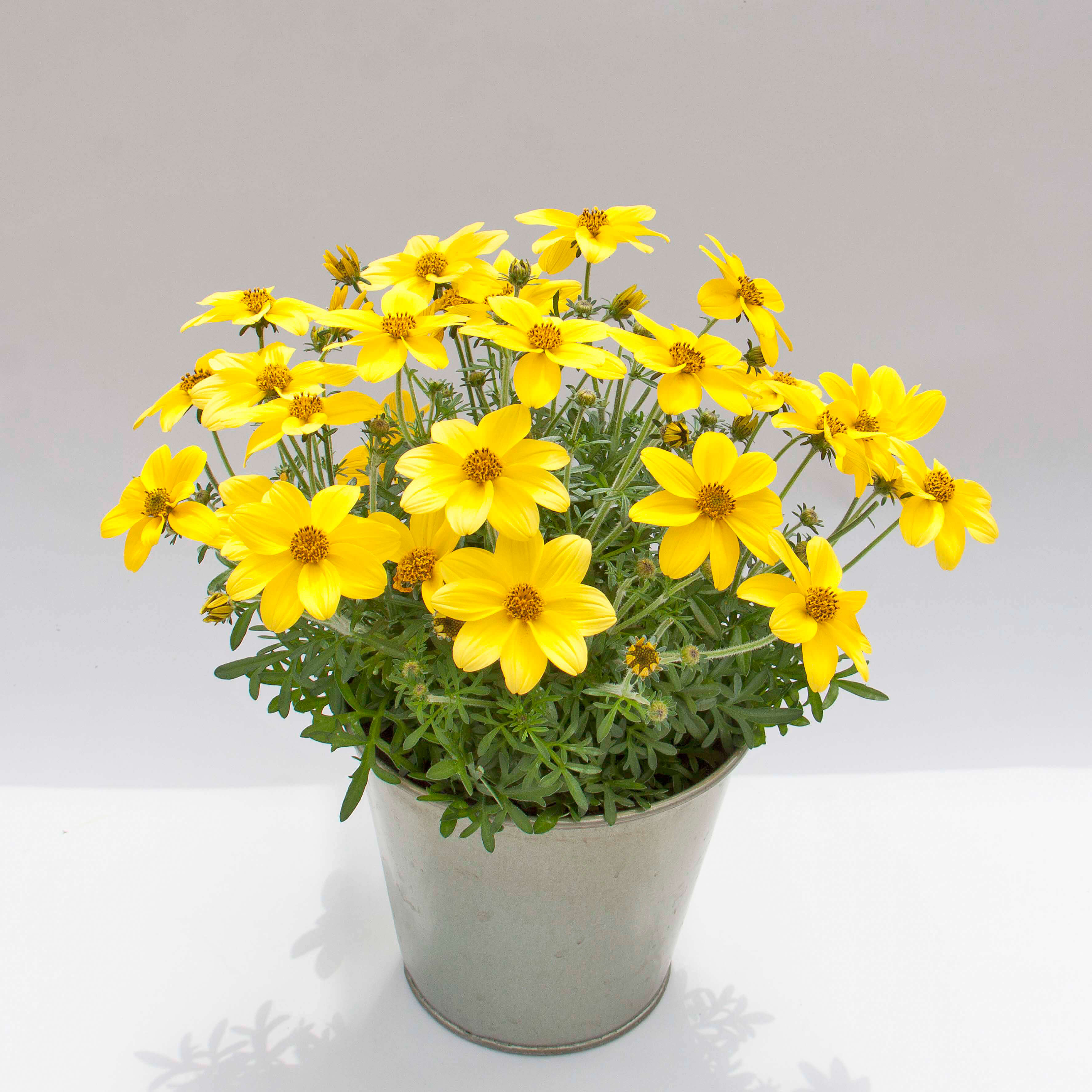 Bidens 'Eldoro Yellow'